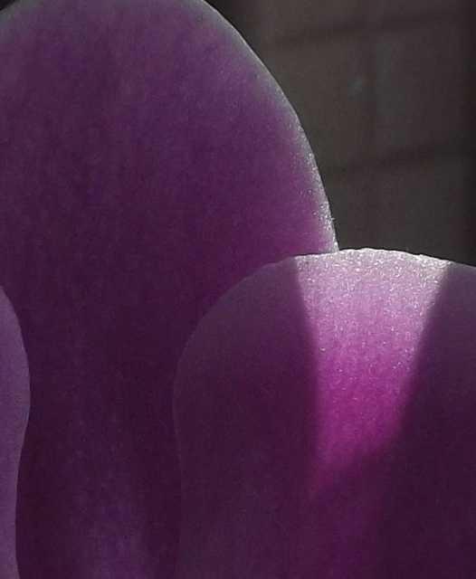 lila (fotó)