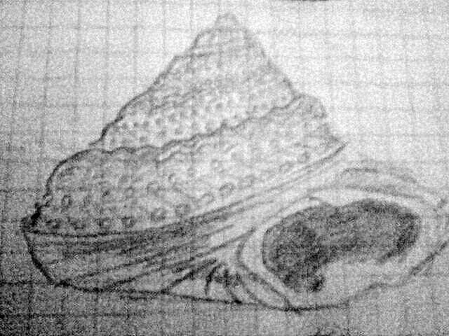 Gibbula